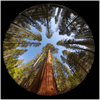 GELATO GLOBAL PRINT - Square Aluminum Print - Fisheye view of the Giant Sequoia Trees - Yosemite National Park in CA USA - Yunque Store