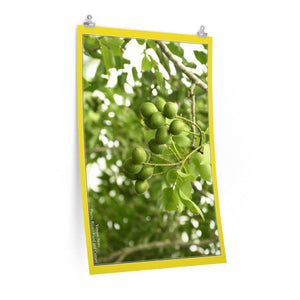 Low cost top-quality Posters - PR Culture - The Quenepas Tree and fruit Poster Printify
