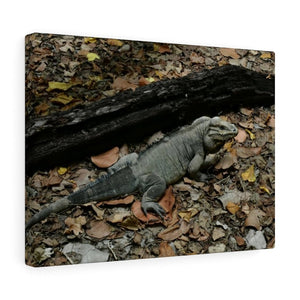 The Amazing native Iguana of Mona Island - Puerto Rico - the Galapagos of the Caribbean - in Pajaros beach - Yunque Store