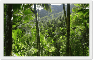 Wooden Framed Poster- Poster - View Thru the Sierra Palm forest - 4 day 24Km exploration - Tradewinds WILDERNESS - El Yunque PR - Yunque Store