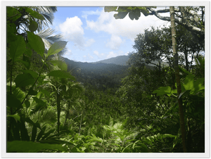 Wooden Framed Poster - View Thru the Sierra Palm forest - 4 day 24Km exploration - Tradewinds WILDERNESS - El Yunque Rainforest Puerto Rico - Yunque Store