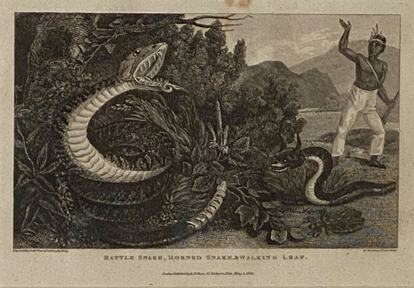 """Rattle Snake Horned Snake Walking Leaf"" Engraving, England Circa 1820"