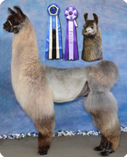 Load image into Gallery viewer, Photo of the Silhouette of Showstopper - Tami Lash's Champion Llama - used to design her custom ring