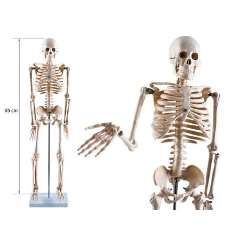 Male Human Skeleton 85cm