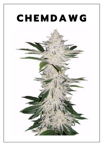 Chemdawg weed strain on white background