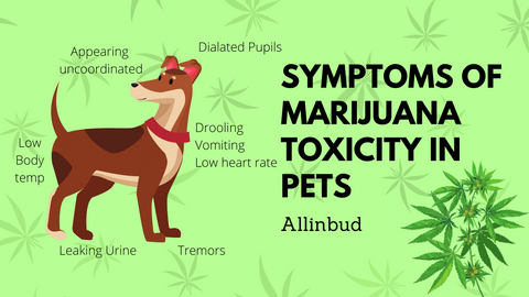 symtops of marijuana toxicity in pets, dog eating weed, pets consuming your cannabis