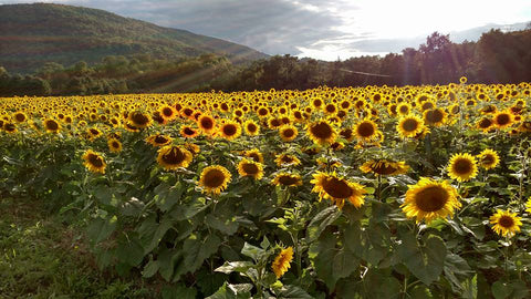 field with sunflowers, mountains, blue sky