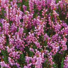 Heather & Wild Berries