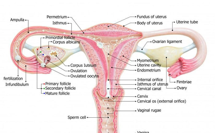 The Amazing Uterus