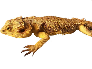 Bearded Dragon Lizard Life Size Statue - LM Treasures