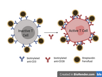 RIAT™ - Rapid Isolation and Activation of T Cells