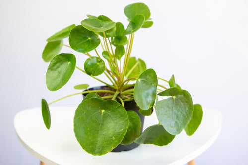 How to Care for your Chinese Money Plant