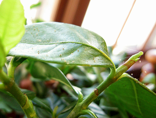Insect Tales: How to Get Rid of Spider Mites on your Indoor Plant