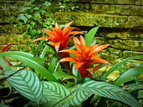 Best Indoor Plants for Beginners: Bromeliad