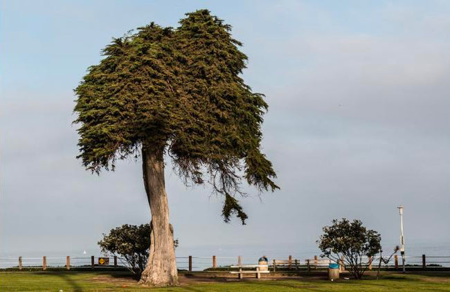 Dr. Seuss Tree Falls in La Jolla, CA