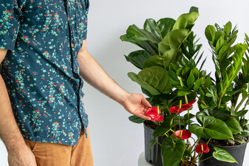 How to Grow and Care for your Flamingo Flower Plant
