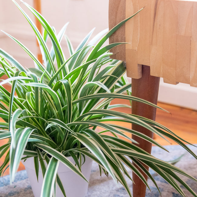 How to Care for your Spider Plant