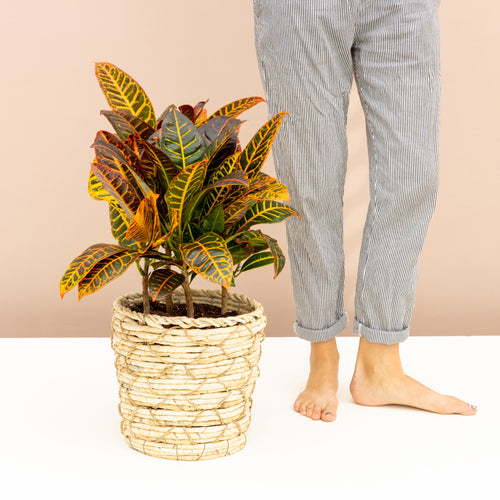 How to Grow and Care for your Croton Petra