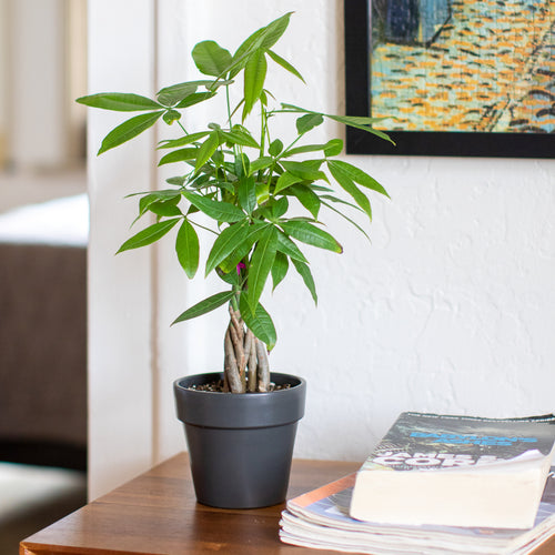 Sustainable Gifting: Give a Money Tree this Holiday
