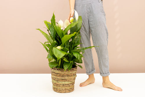 How to Care for your Peace Lily Plant