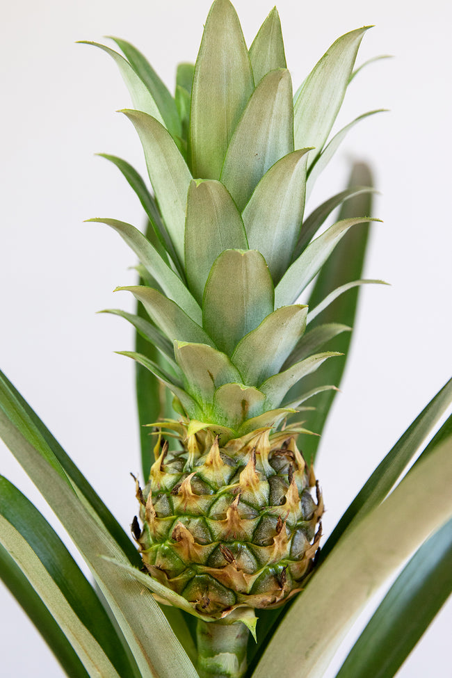 Pineapple Plant with Fruit