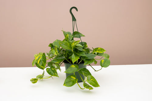 How to Grow and Care for your Golden Pothos