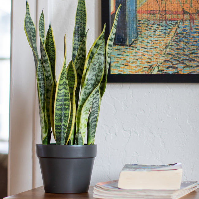 How to Care for your Variegated Snake Plant