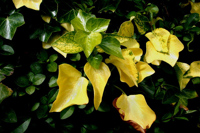 What Causes Yellow Leaves