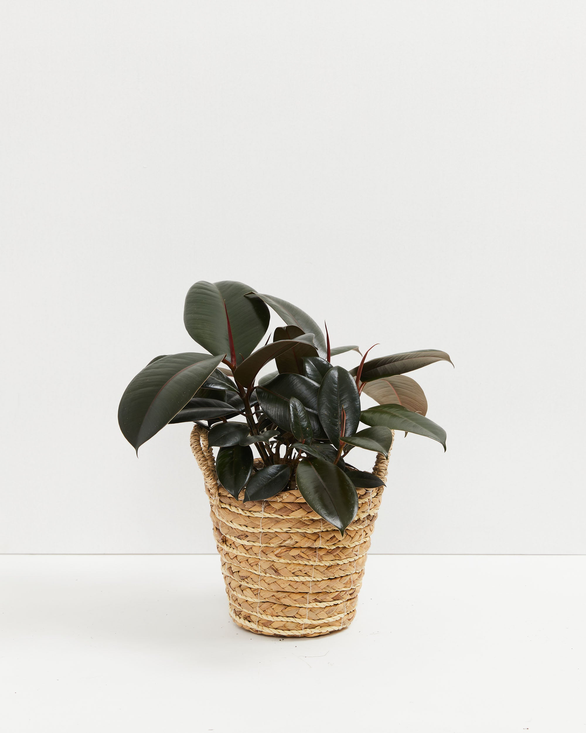 https://www.livelyroot.com/products/burgundy-rubber-tree?variant=39314800377938
