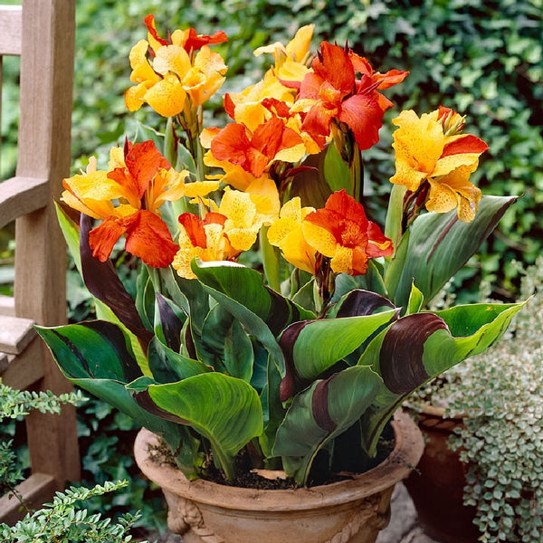 Canna Lily Bulb Sizes