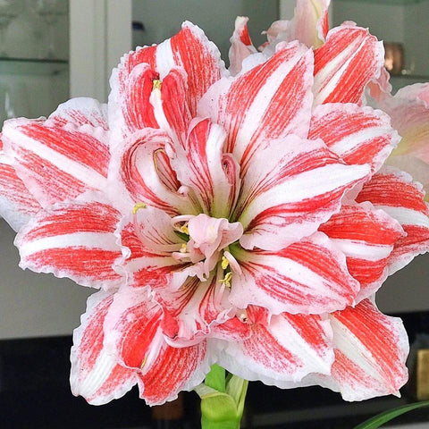 https://www.livelyroot.com/collections/mothers-day-buy-1-get-1-1-2-off/products/double-flowering-premium-dancing-queen-amaryllis-bulbs?variant=33299558989906