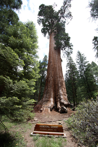 Giant Sequoia - King's Canyon National Park