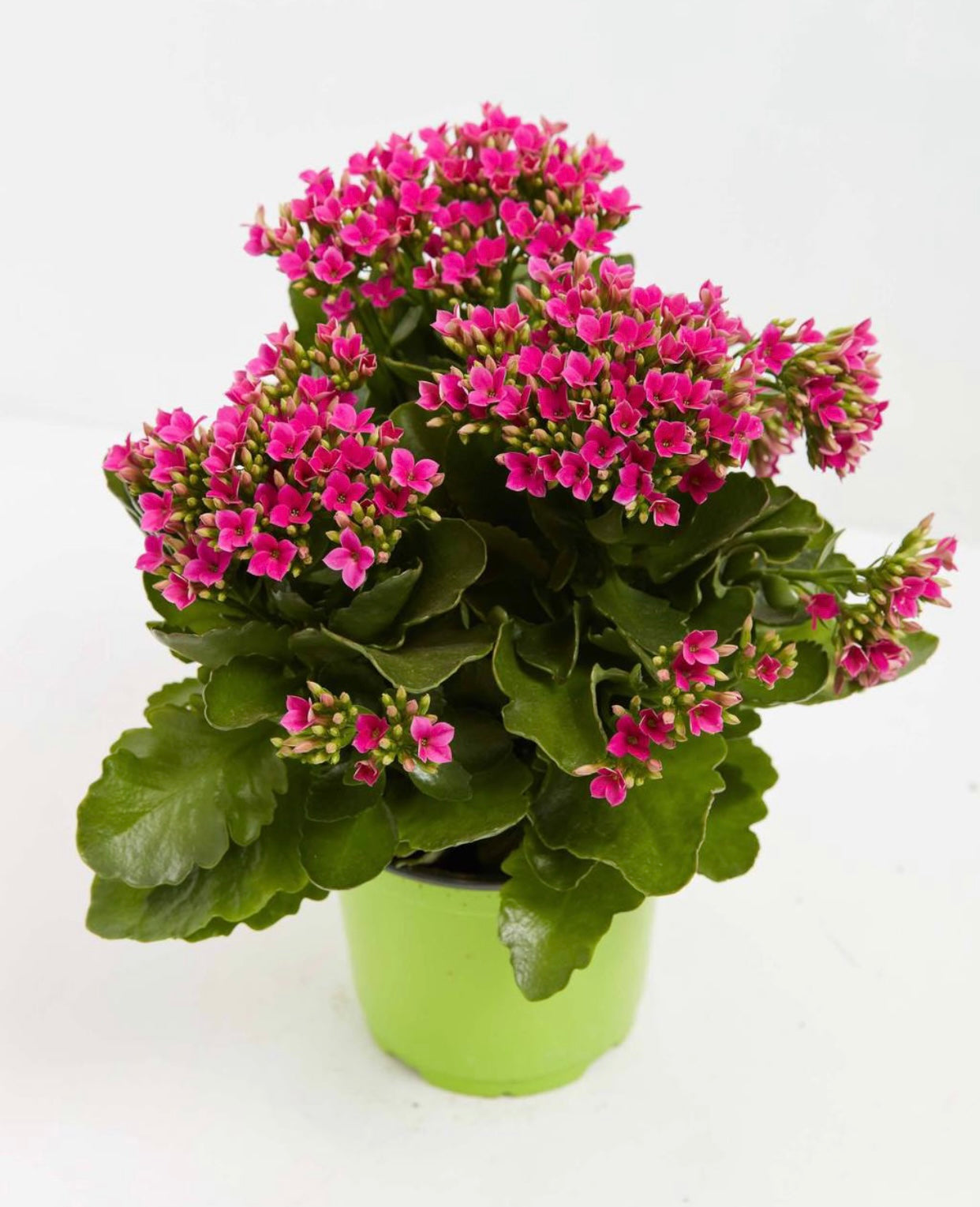 https://www.livelyroot.com/collections/mothers-day-buy-1-get-1-1-2-off/products/kalanchoe?variant=39298816016466
