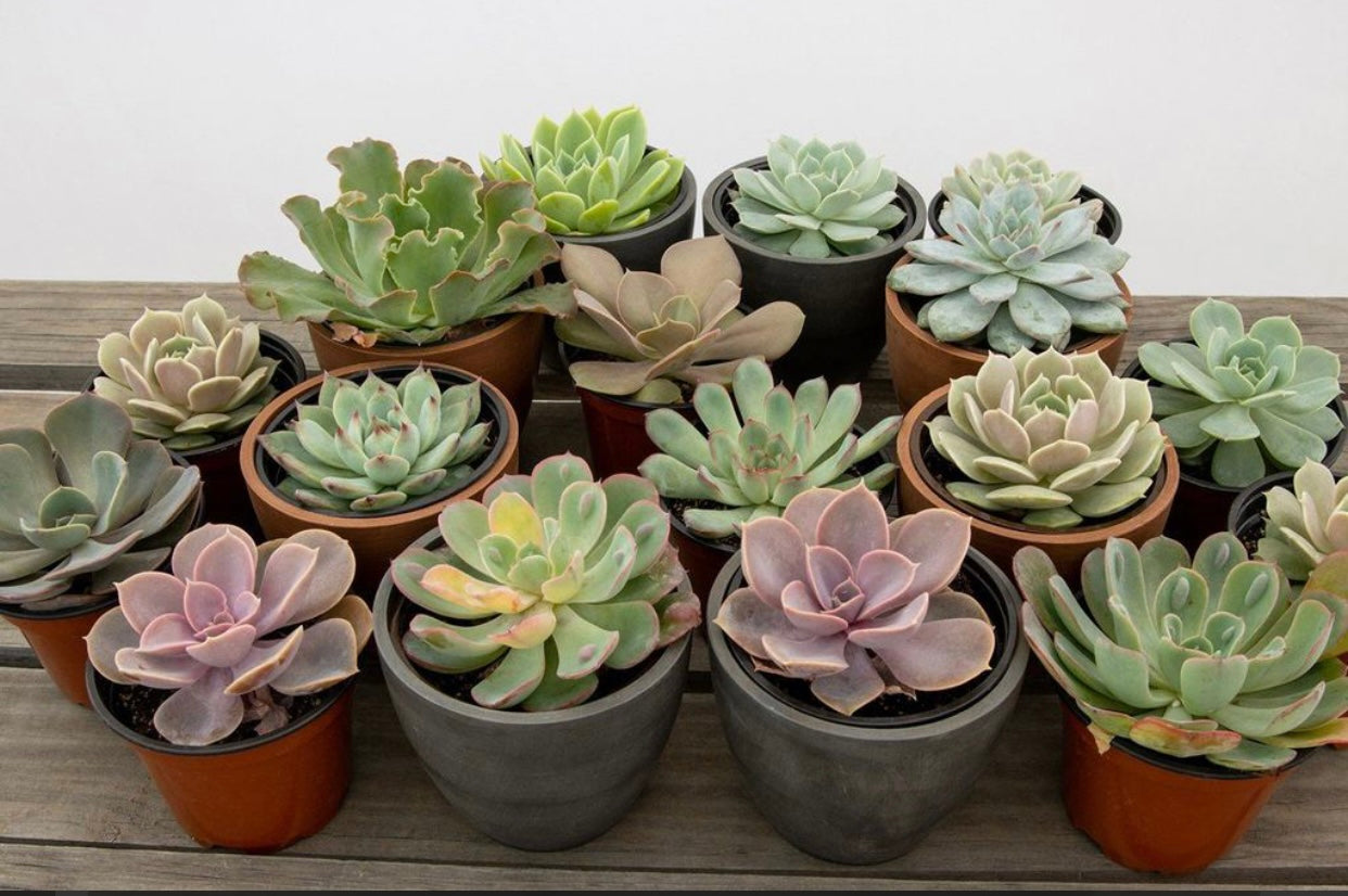 https://www.livelyroot.com/products/assorted-echeveria-4-pack?variant=39389377036370