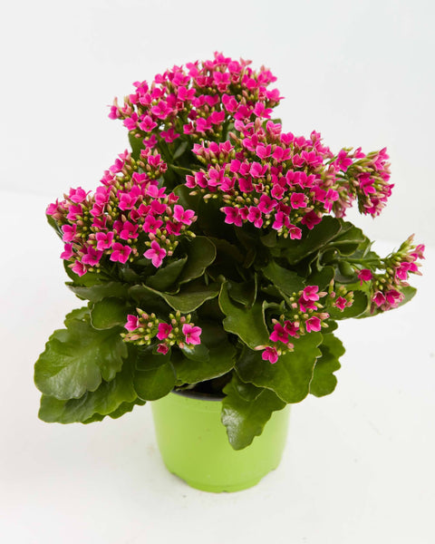 Kalanchoe for Valentine's Day