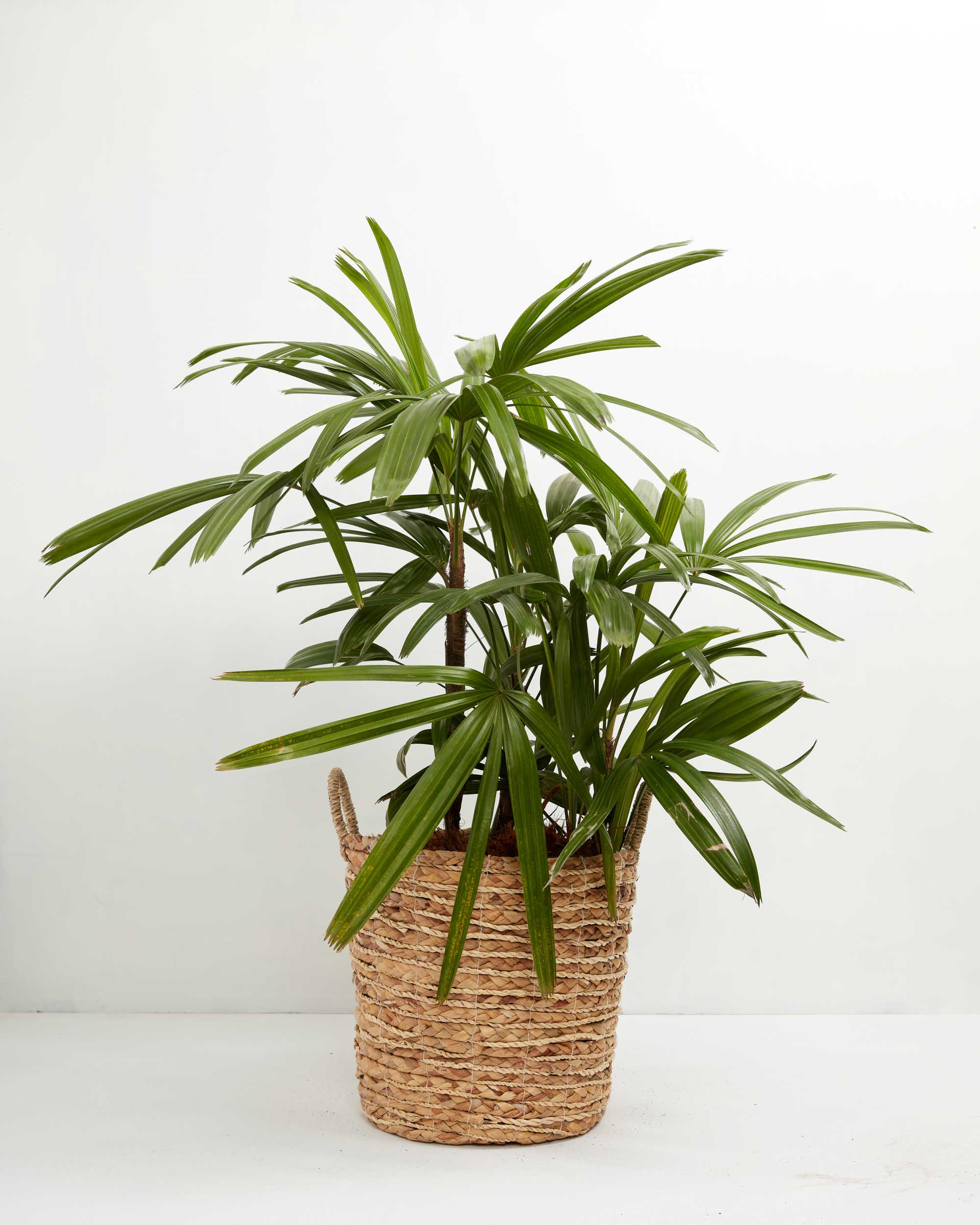 https://www.livelyroot.com/products/lady-palm?variant=33254802161746
