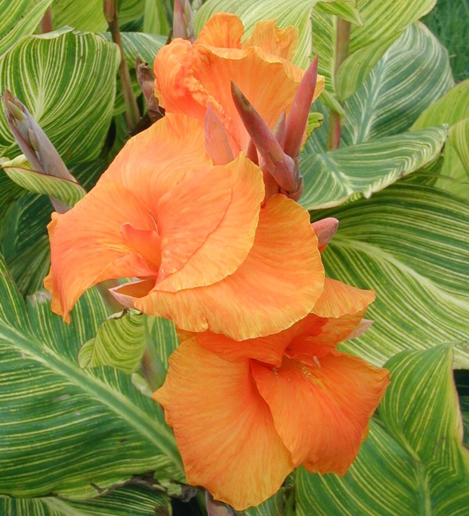 https://www.livelyroot.com/products/pretoria-striped-canna-lily-bulbs?variant=33279997411410