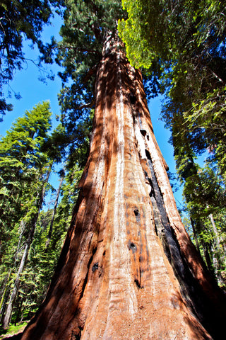 Sequoia Tree - Sequoia National Park