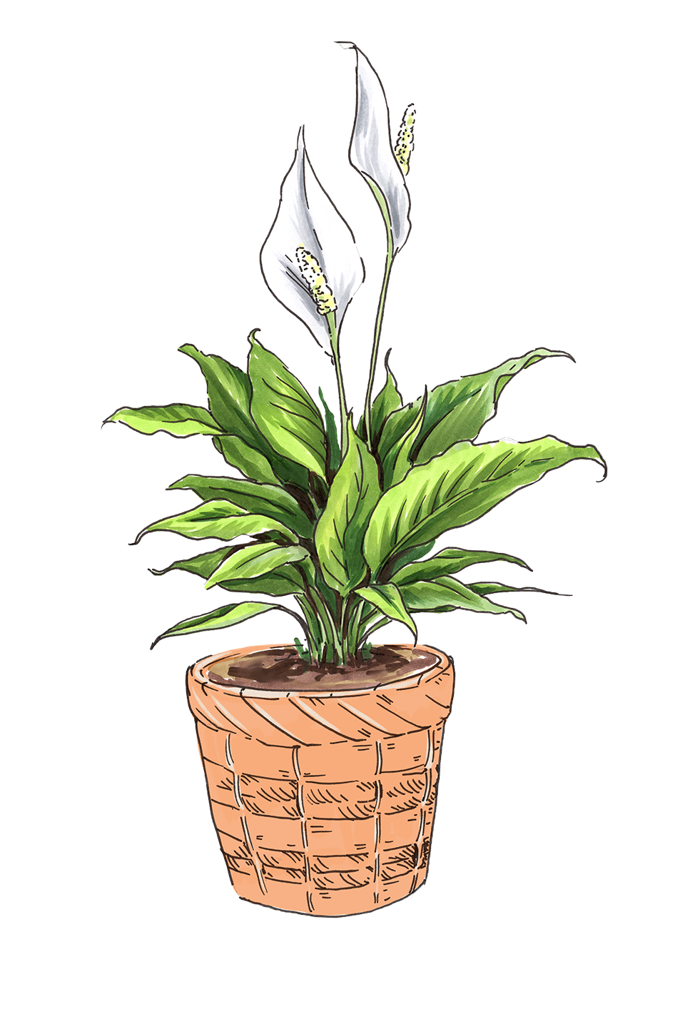 Peace Lily Corporate Gift