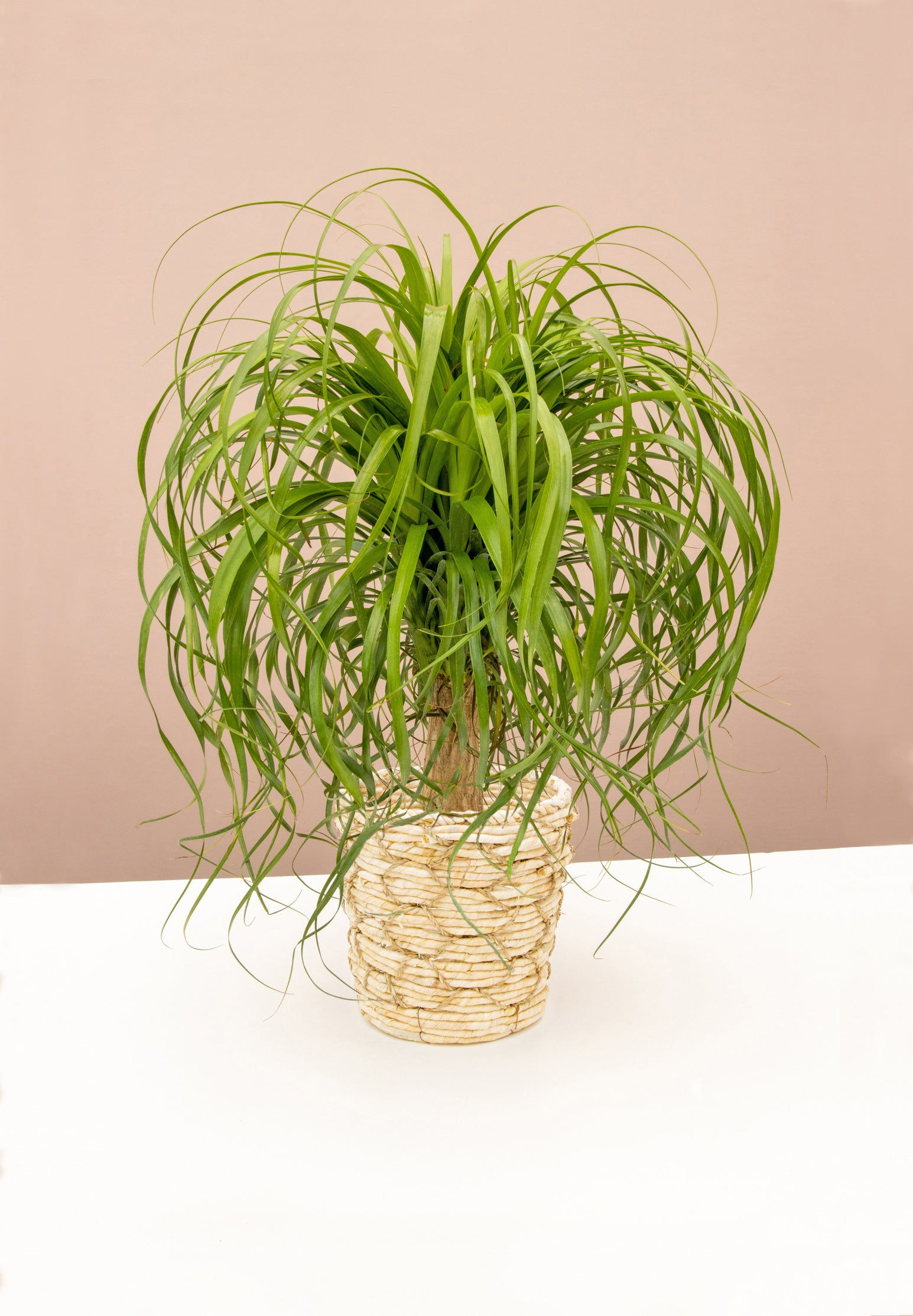 https://www.livelyroot.com/collections/mothers-day-buy-1-get-1-1-2-off/products/ponytail-palm?variant=33254801637458