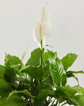 Biggie Peace Lily - Lively Root