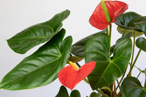 Flamingo Flower - Lively Root