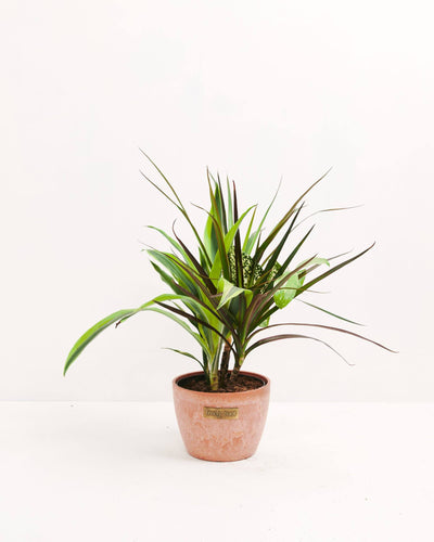Dracaena Collection Black Leaf