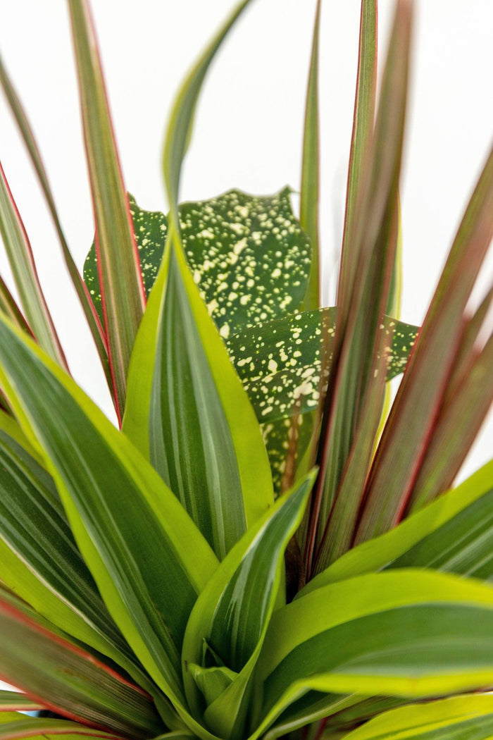 Dracaena Collection Red Leaf