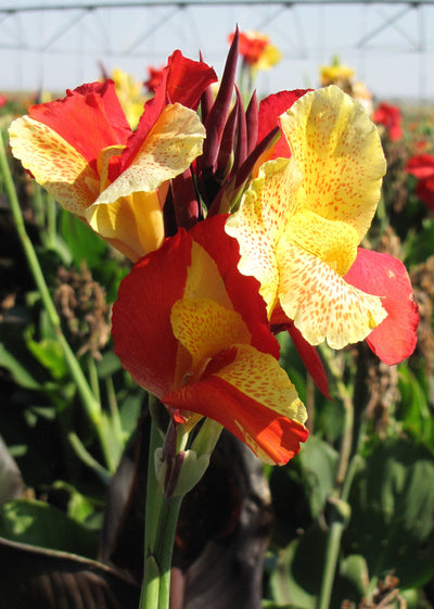Exquisite Cleopatra Canna Lily Bulbs
