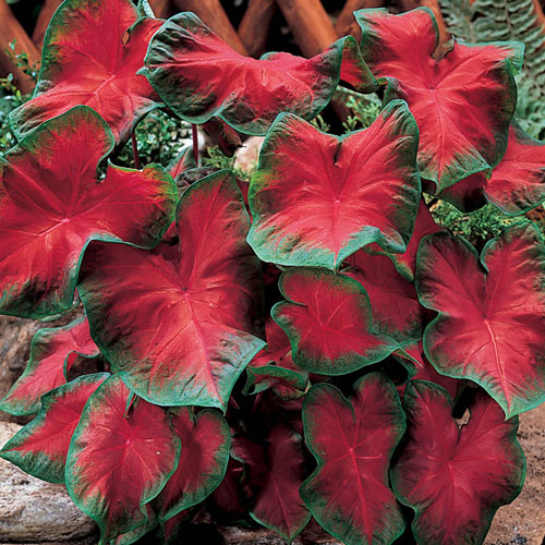 Green Border Red Ruffles Premium Caladium Bulb