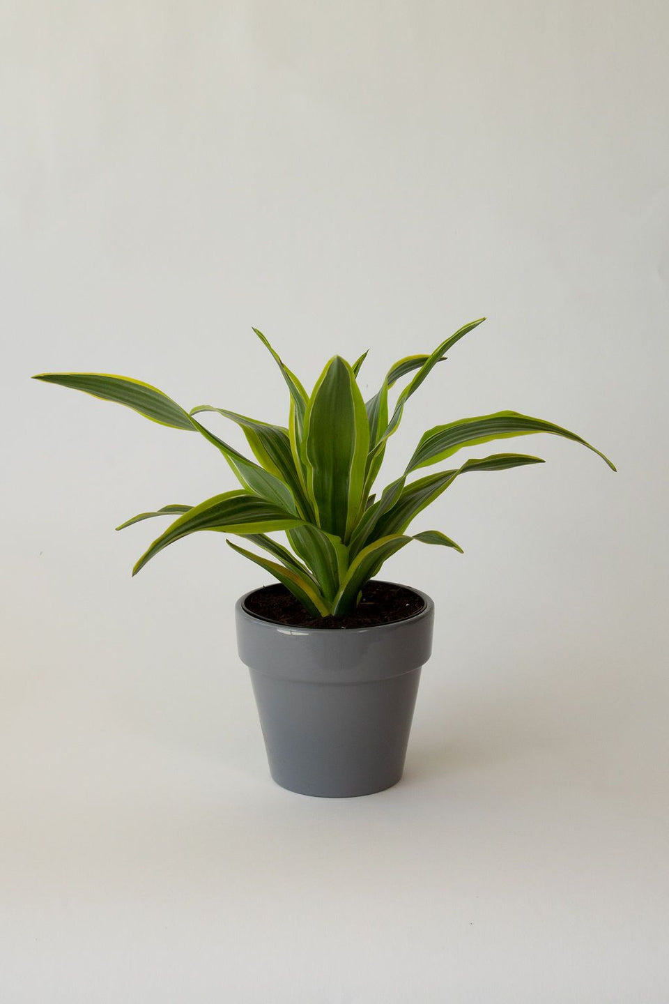 Lil' Bit Dracaena Warneckii Lemon Lime