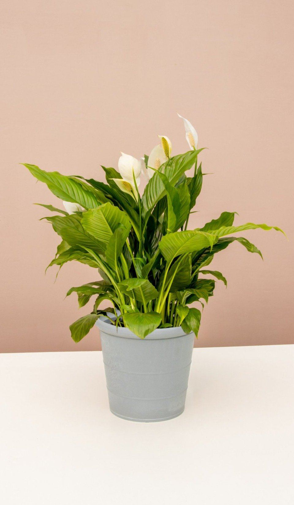 Bountiful Peace Lily