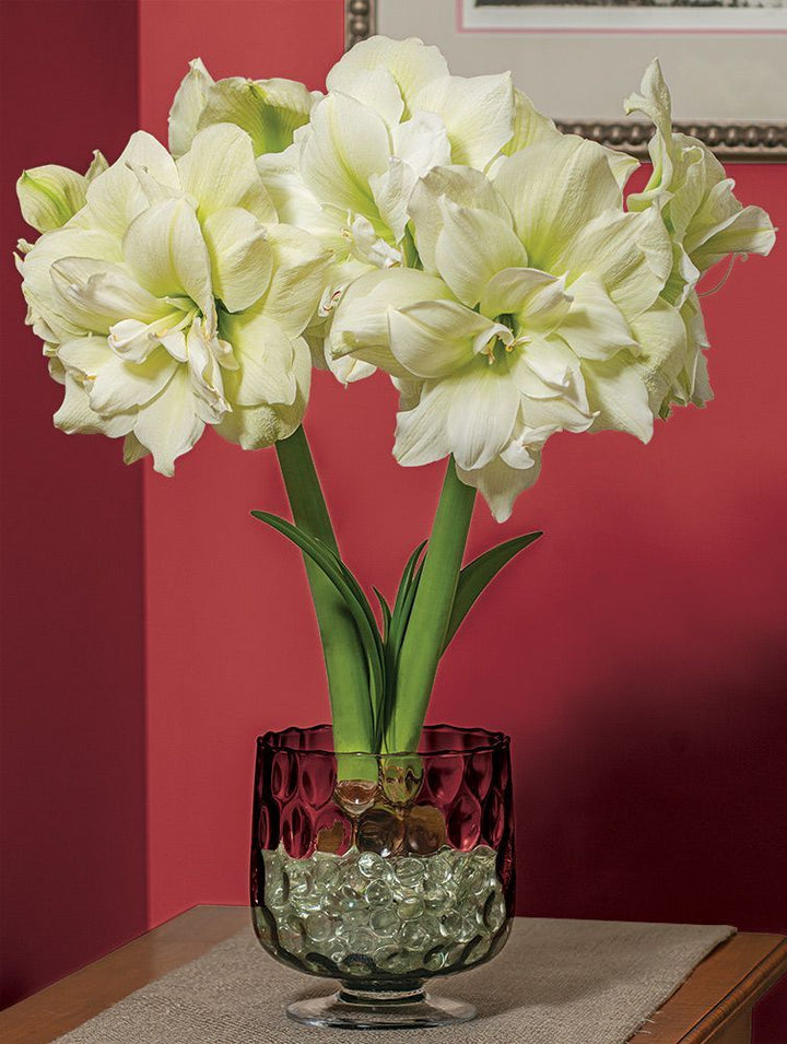 Iconic Double White Flower Marilyn Amaryllis Bulbs