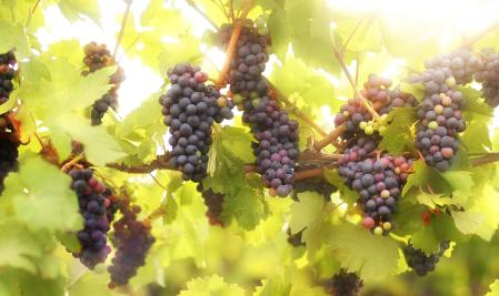 Should You Use Fresh Grapes Or Concentrate With Your Wine Making Kit?